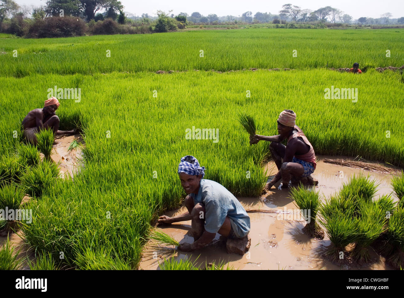 Indian farmers working in a rice paddy field in Udaygiri ...