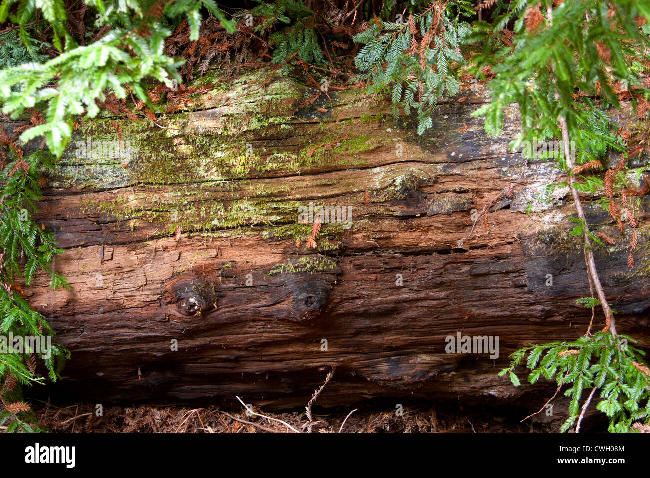 redwood log decays on forest floor stock photo royalty free image