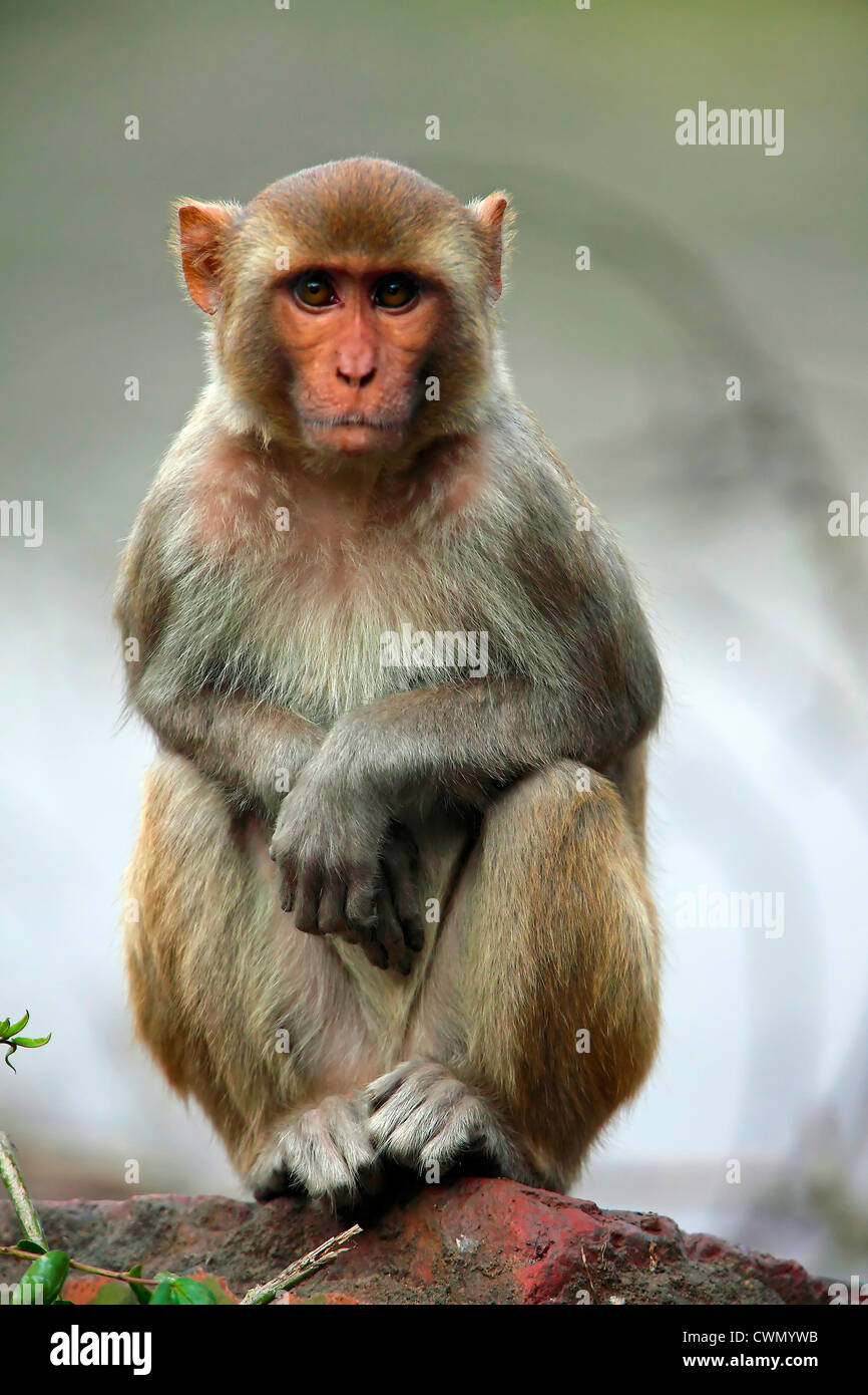 Indian Monkey Images Monkey, Macaque, Urban...