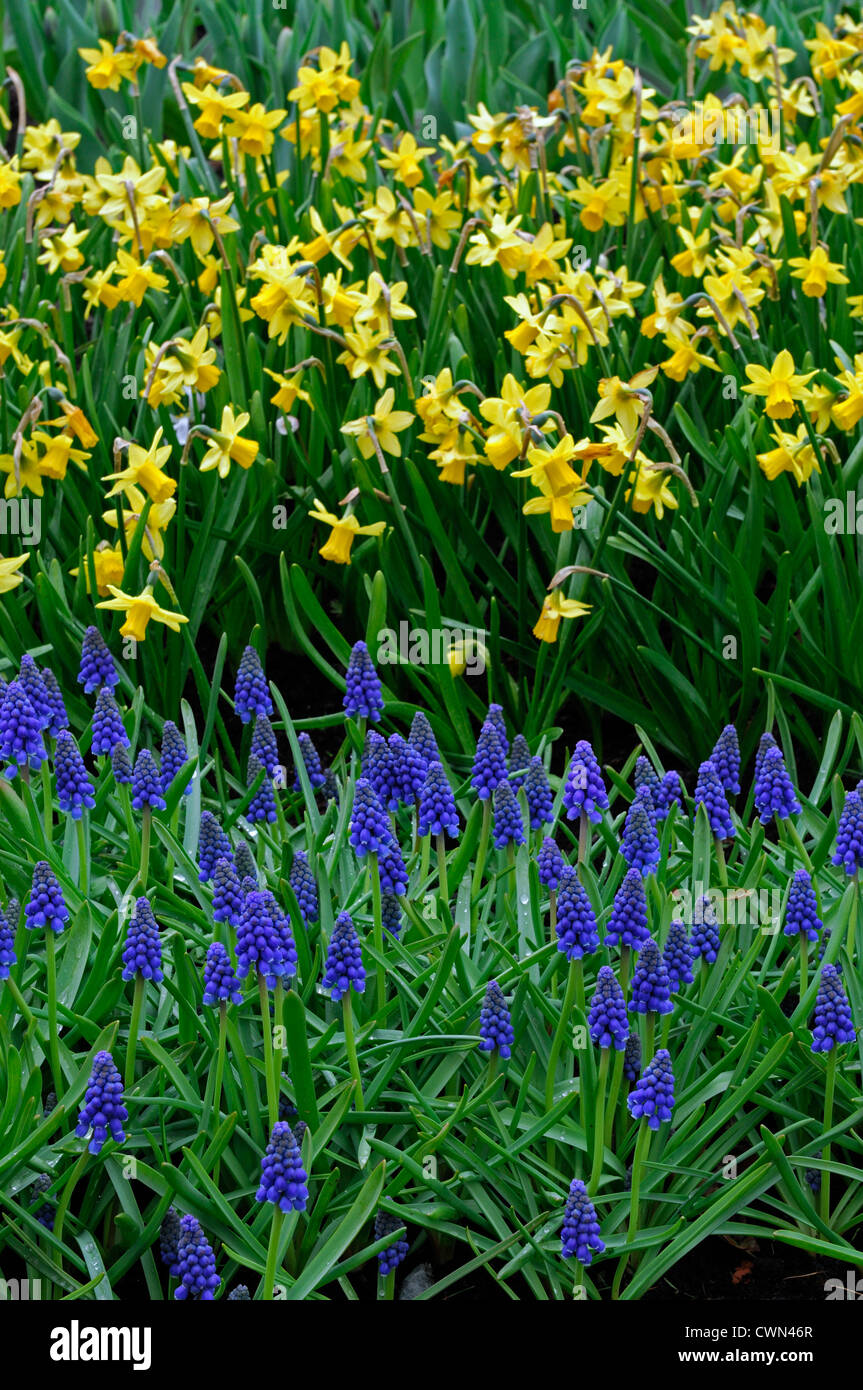 When how to plant daffodil bulbs - Narcissus Tete A Tete Yellow Dwarf Daffodil Blue Muscari Armeniacum Mix Mixed Planting Scheme Combination Bulbs