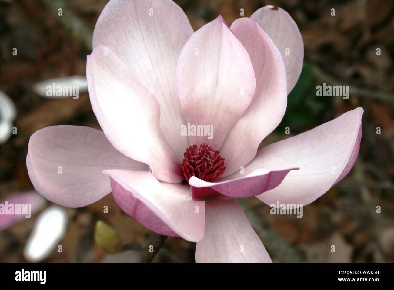 close up japanese magnolia tree flower pink macro photo art print