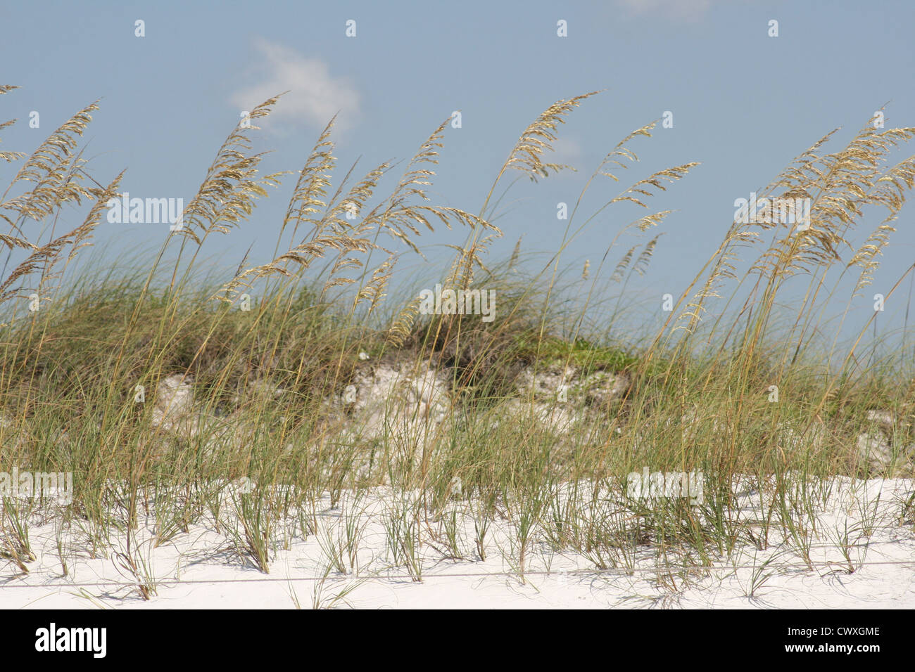 Beach Sand Dunes And Tall Grass Reeds Stock Photo Royalty