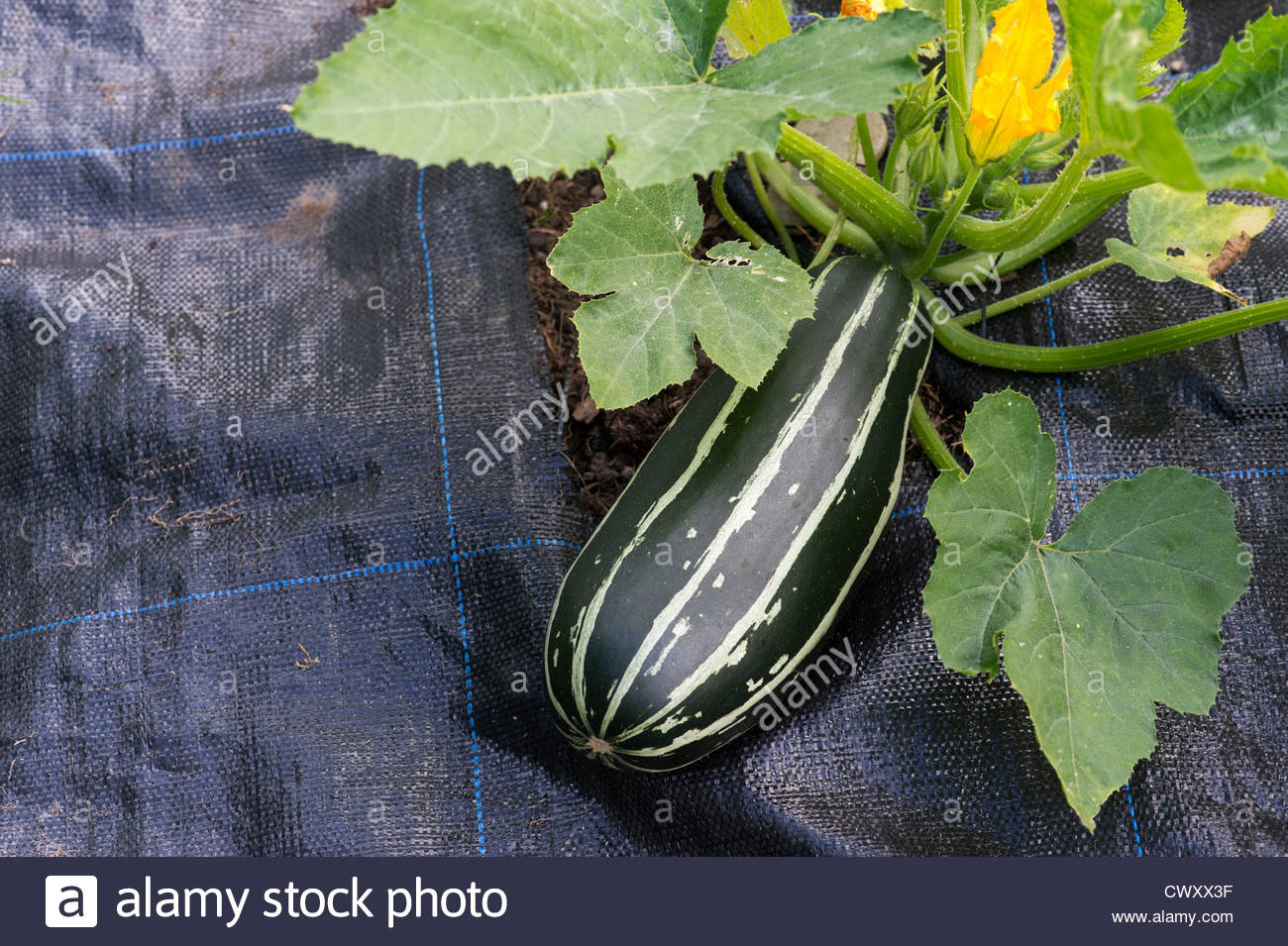 cucurbita pepo marrow badger cross grown through a weed. Black Bedroom Furniture Sets. Home Design Ideas