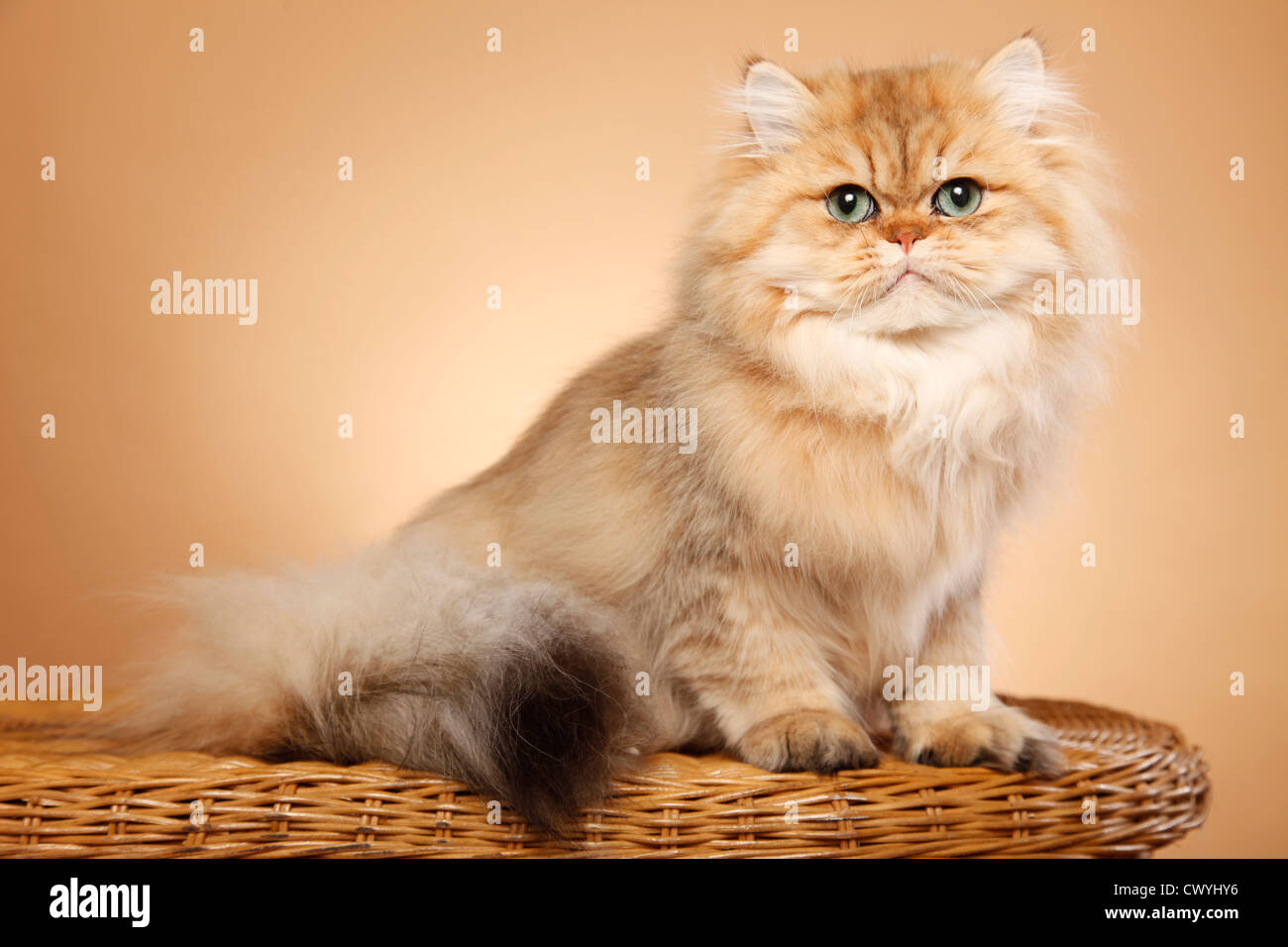 golden chinchilla Perser persian cat Stock Royalty Free
