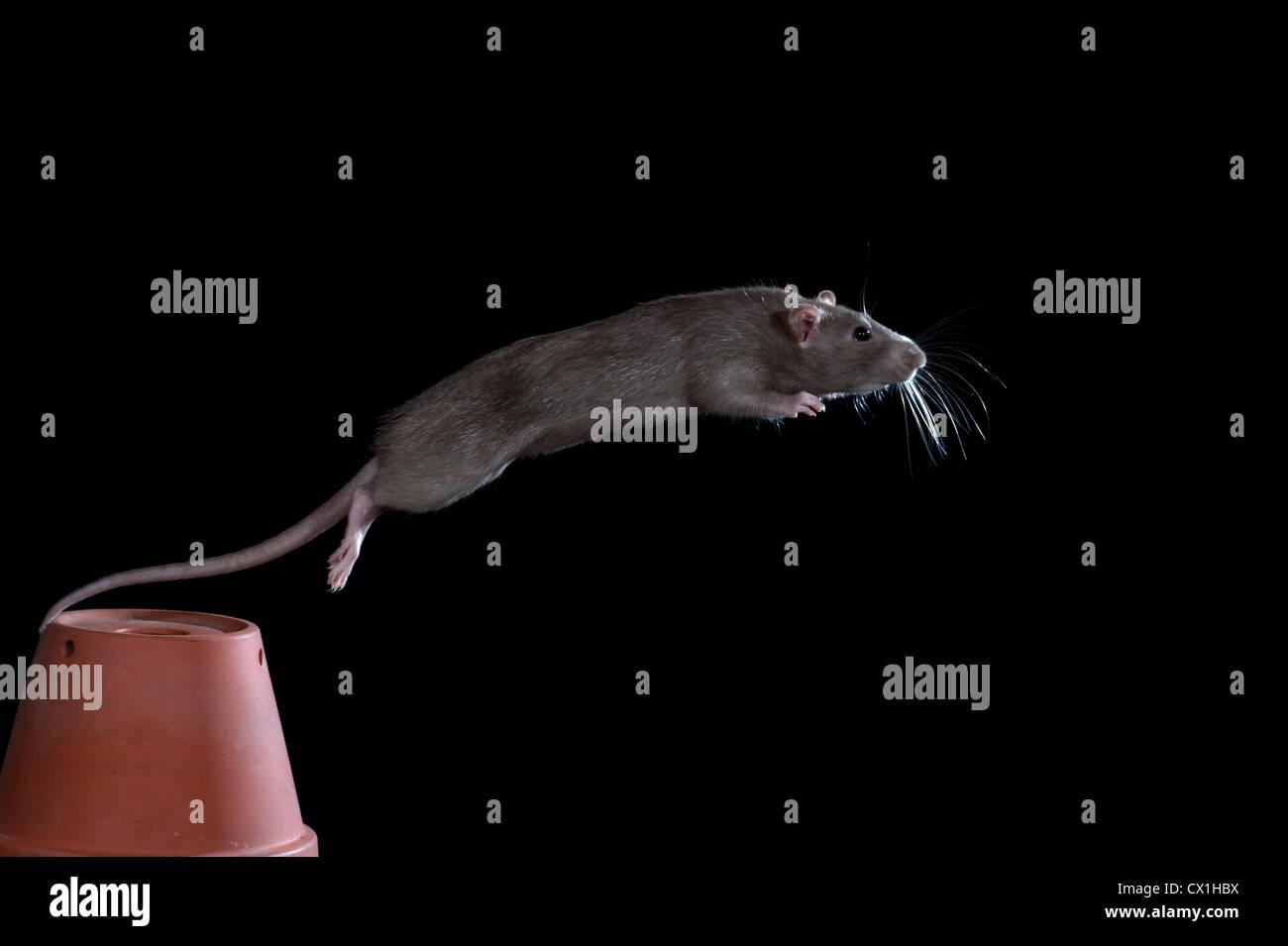 Garden Sheds Kent brown rat rattus norvegicus kent uk leaping from flower pot