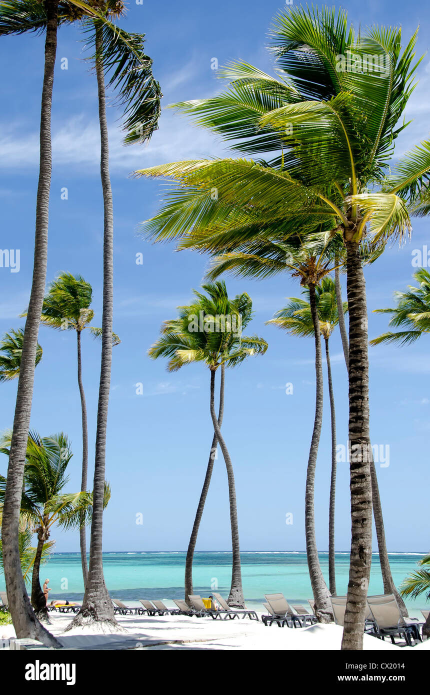 tall palm trees stock photos u0026 tall palm trees stock images alamy