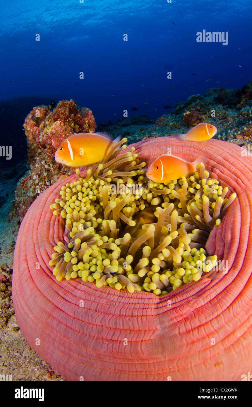 underwater scene of palau coral reefs sea life anemone anemone