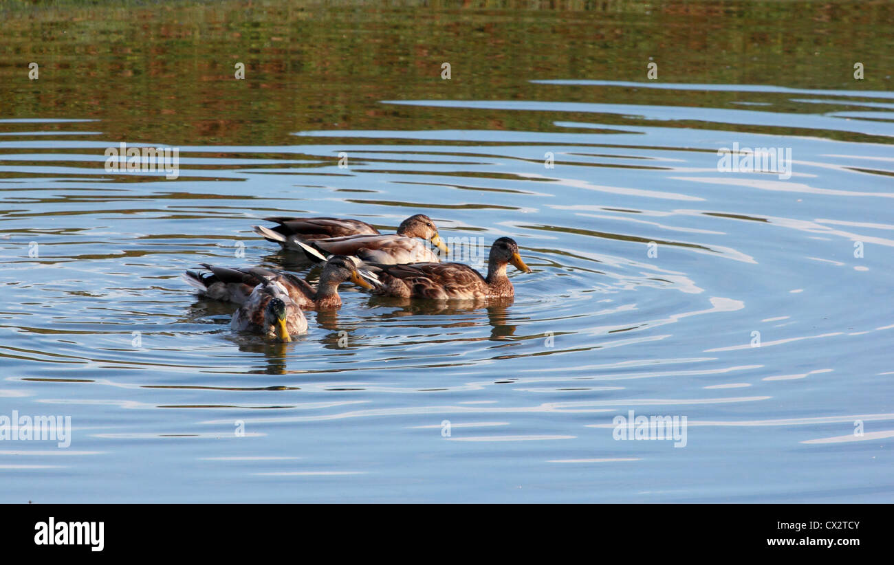 a small flock of ducks swimming in a pond stock photo royalty