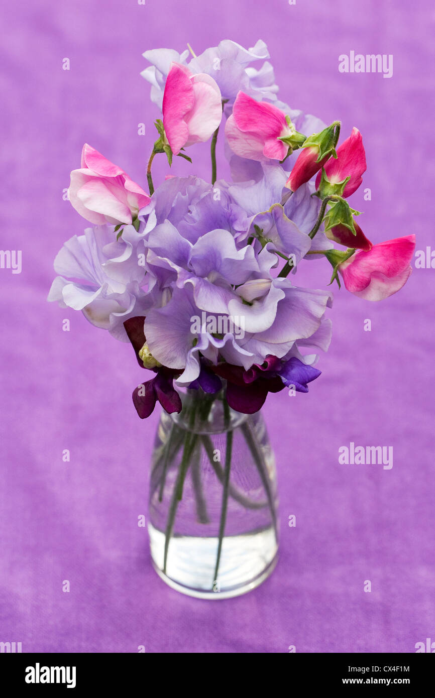 Lathyrus odoratus sweet pea flowers in a glass vase against a sweet pea flowers in a glass vase against a lilac background reviewsmspy