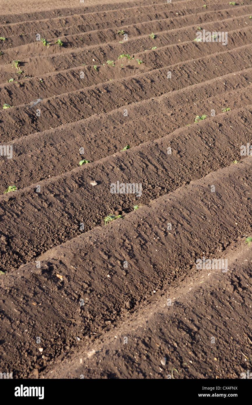 Furrows In Potato Field Cambridgeshire Fens England Uk