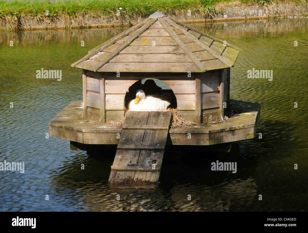 A duck in its duck house on the duck pond in barrowden for House duck
