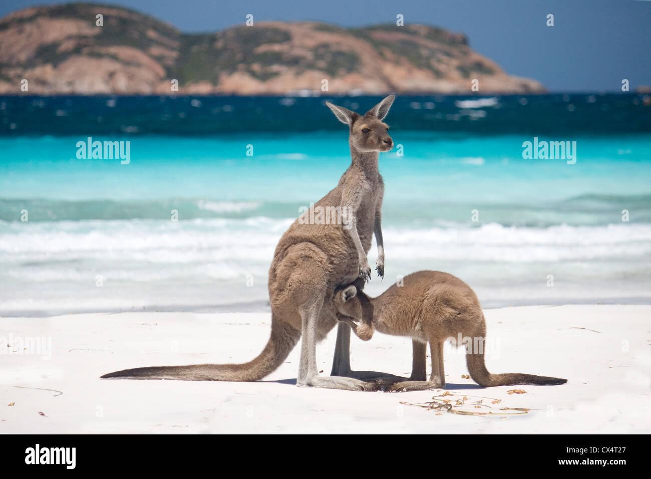 Kangaroo Joey On Beach