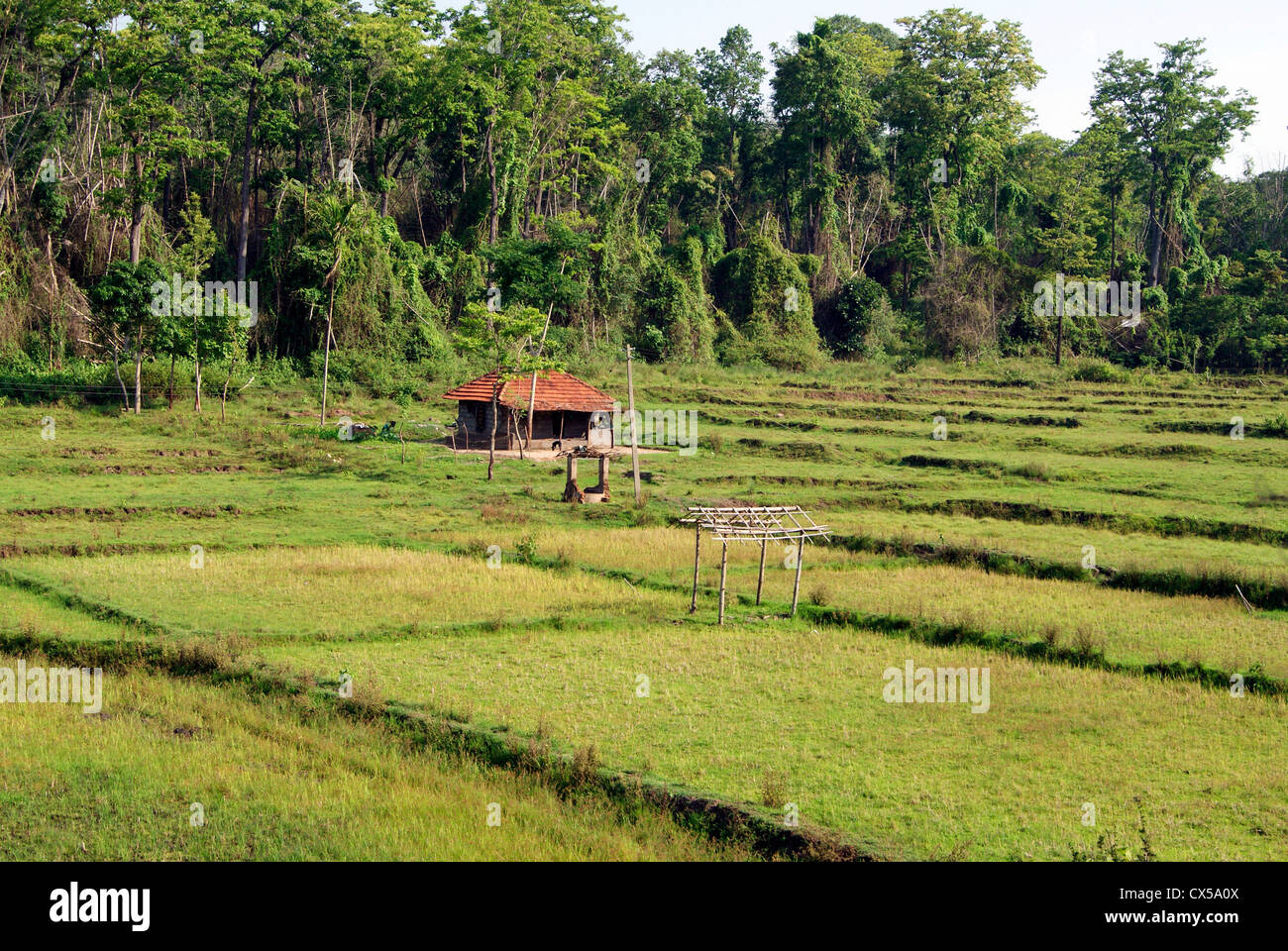 small hut homes of tribal farmer in the middle of rice paddy stock