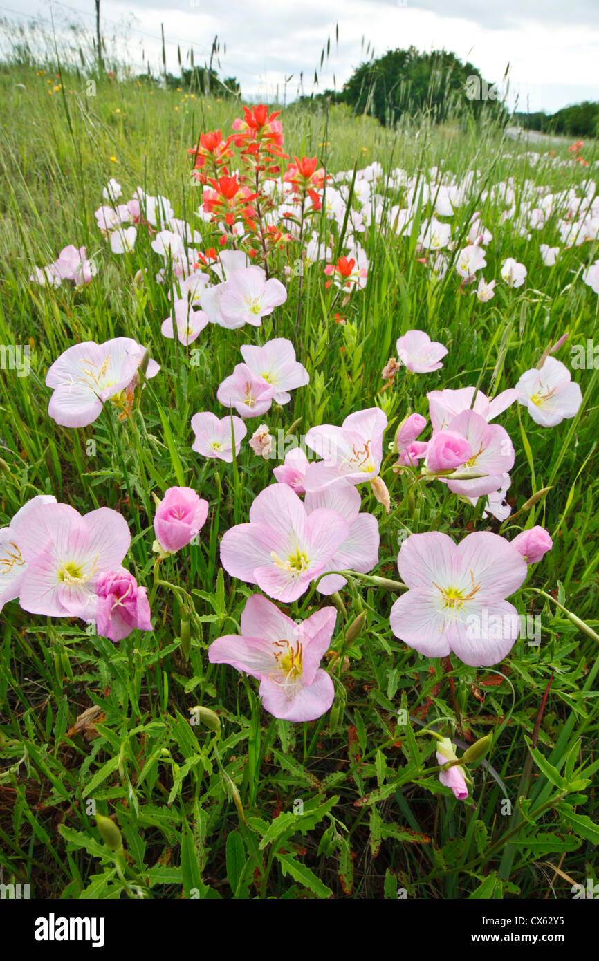 pink evening primrose oenothera speciosa and indian