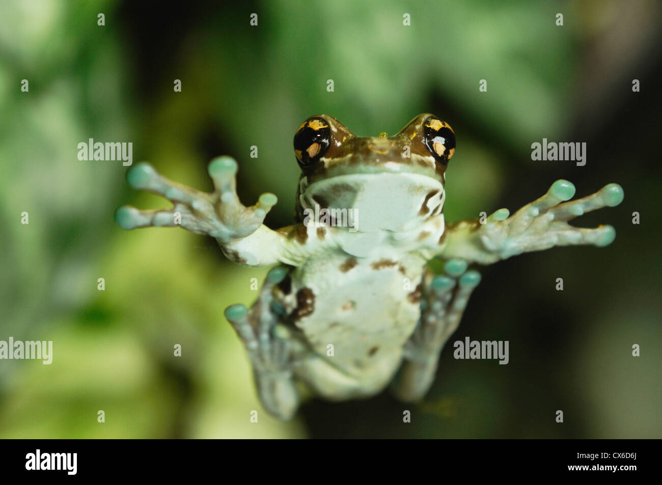 2668 Mission Golden-eyed Tree Frog (Amazon Milk Frog ...