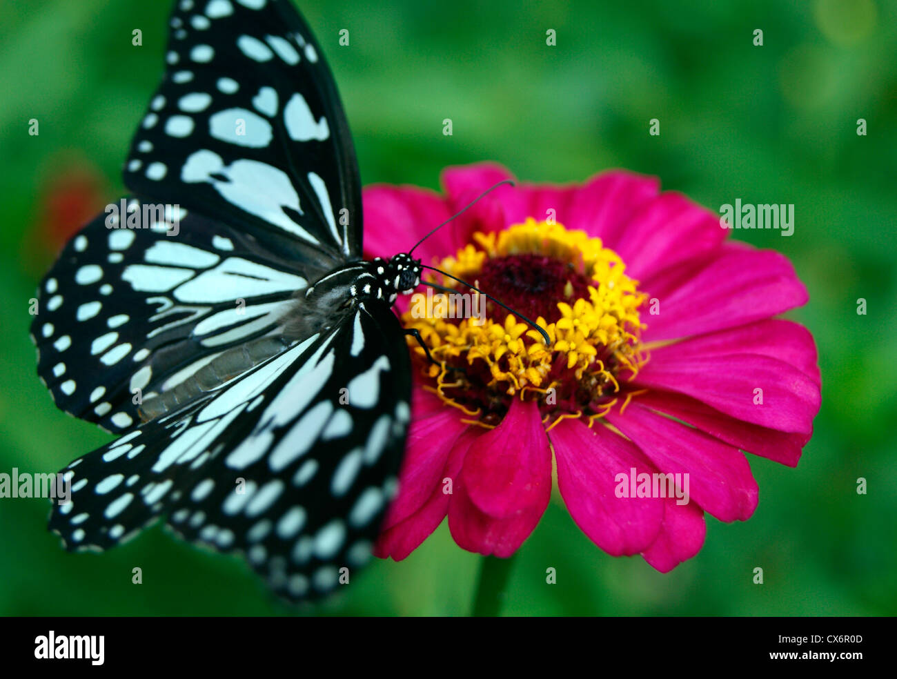 butterfly flower honey glassy tiger butterfly sitting on