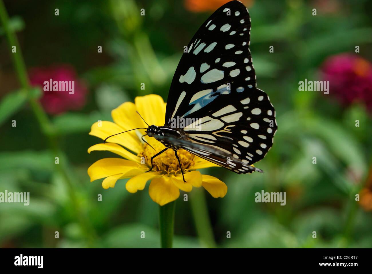 Butterfly sitting on flower glassy tiger butterfly on for Butterfly on flowers