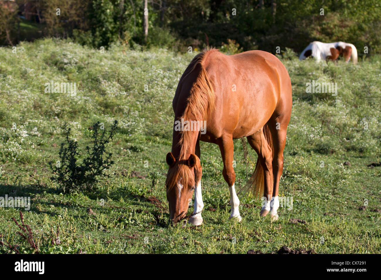 Chestnut horse with white star and 4 white socks grazes in ... - photo#24
