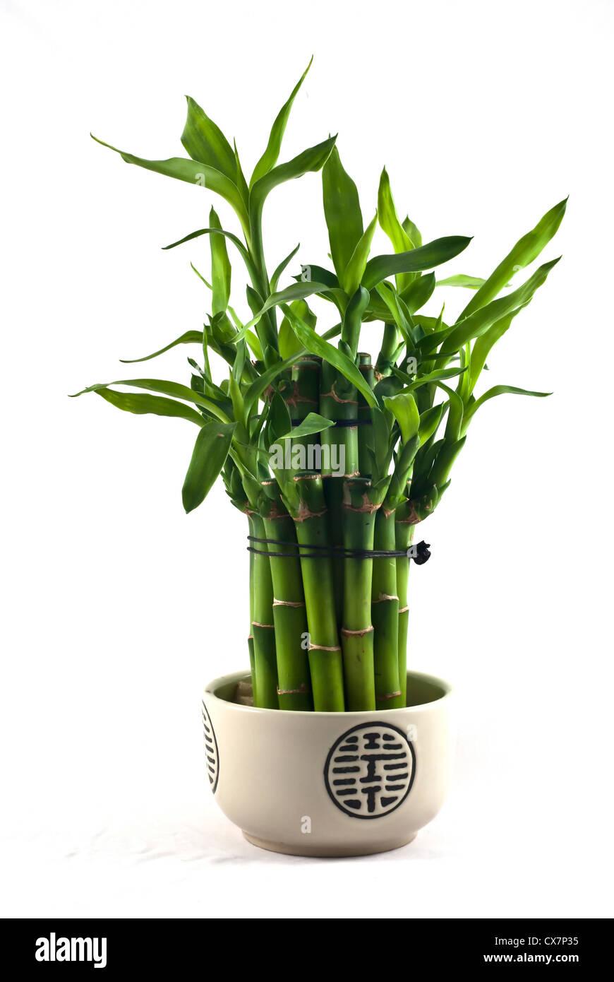 Lucky bamboo dracaena sanderiana in a porcelain pot stock photo lucky bamboo dracaena sanderiana in a porcelain pot reviewsmspy