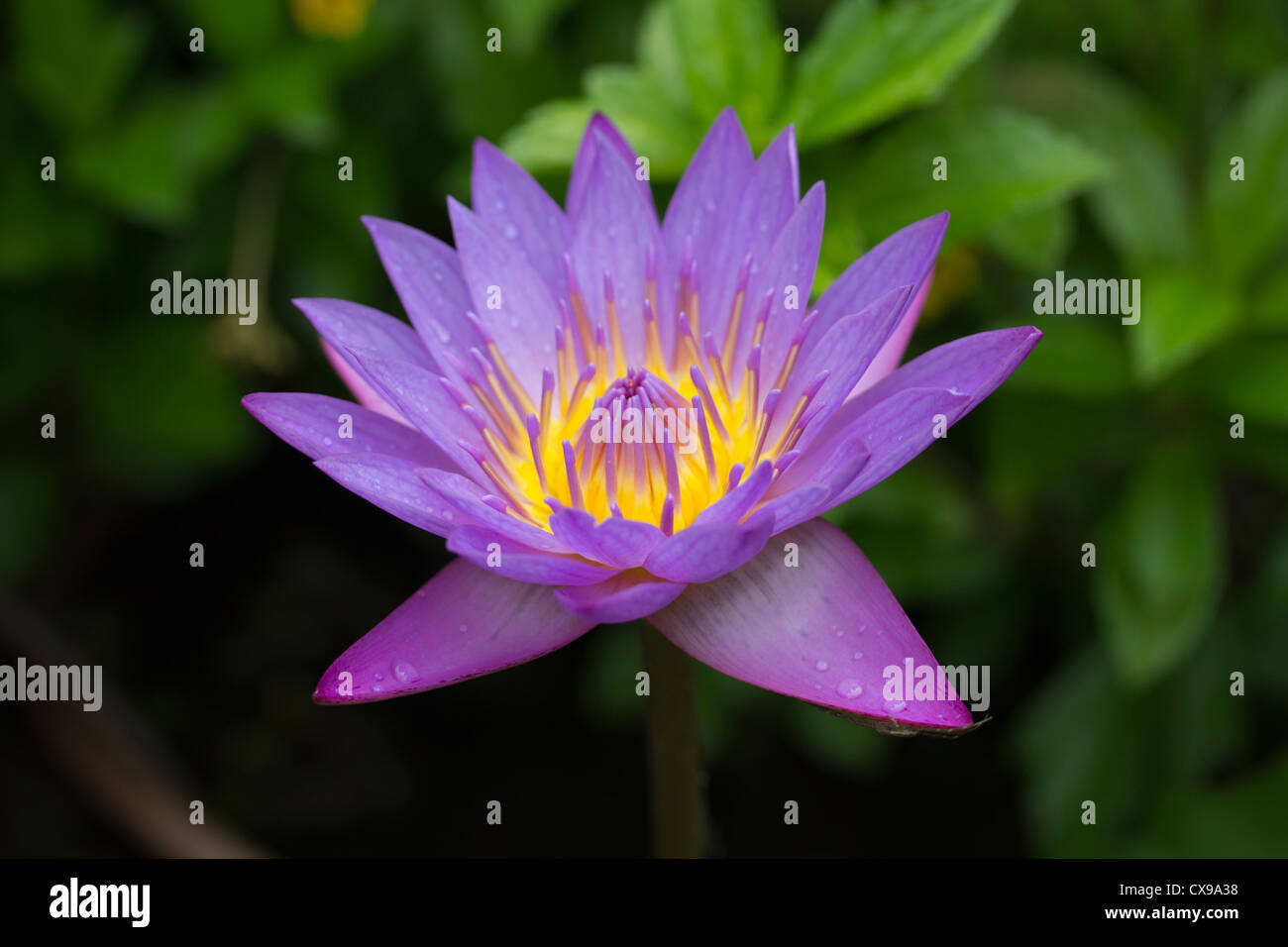 Water lily blue lotus or blue star nymphaea stellata the stock photo water lily blue lotus or blue star nymphaea stellata the national flower of sri lanka dhlflorist Images