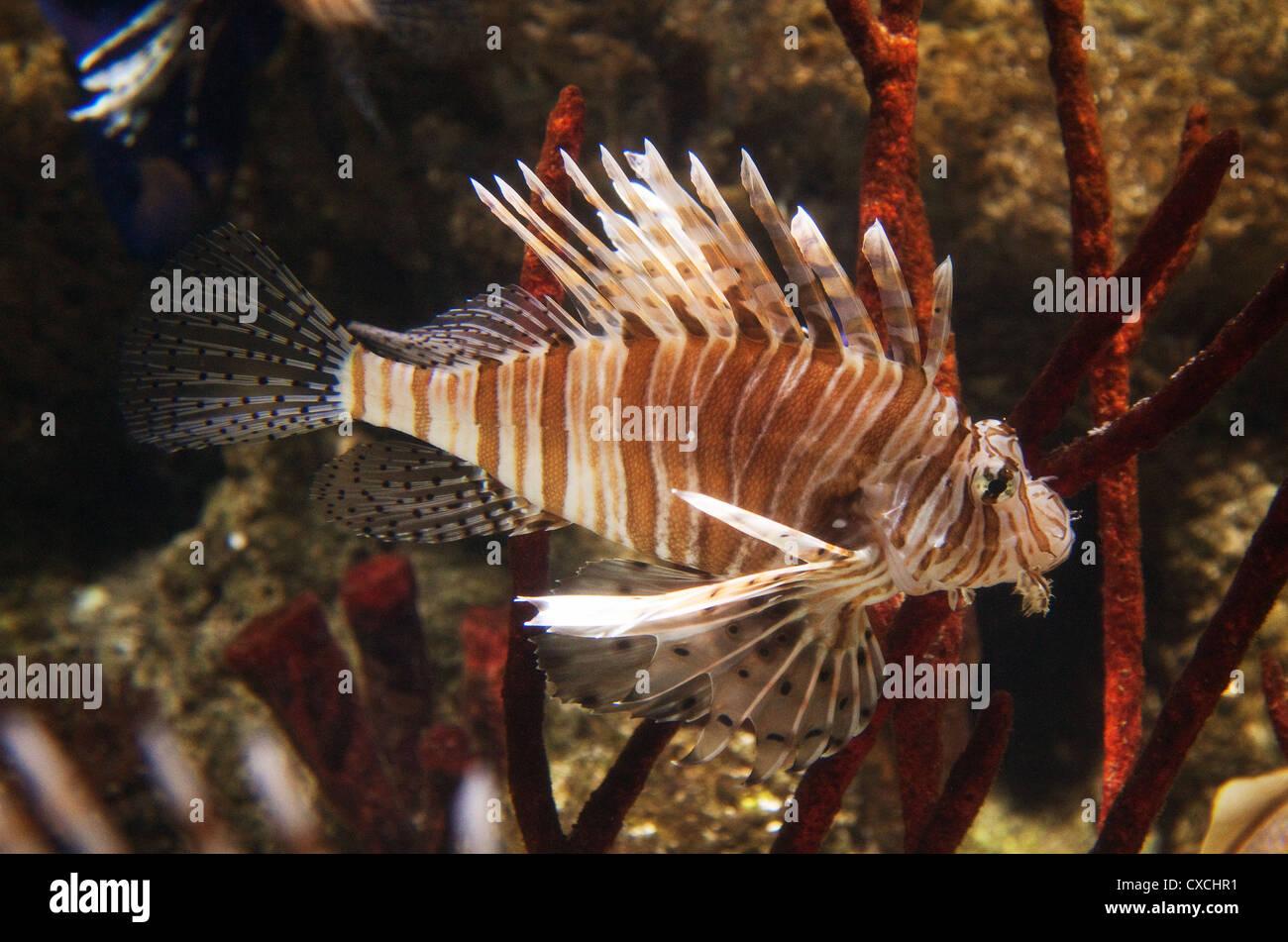 Buy fish for aquarium london - Lionfish Pterois The London Aquarium South Bank London Uk Stock