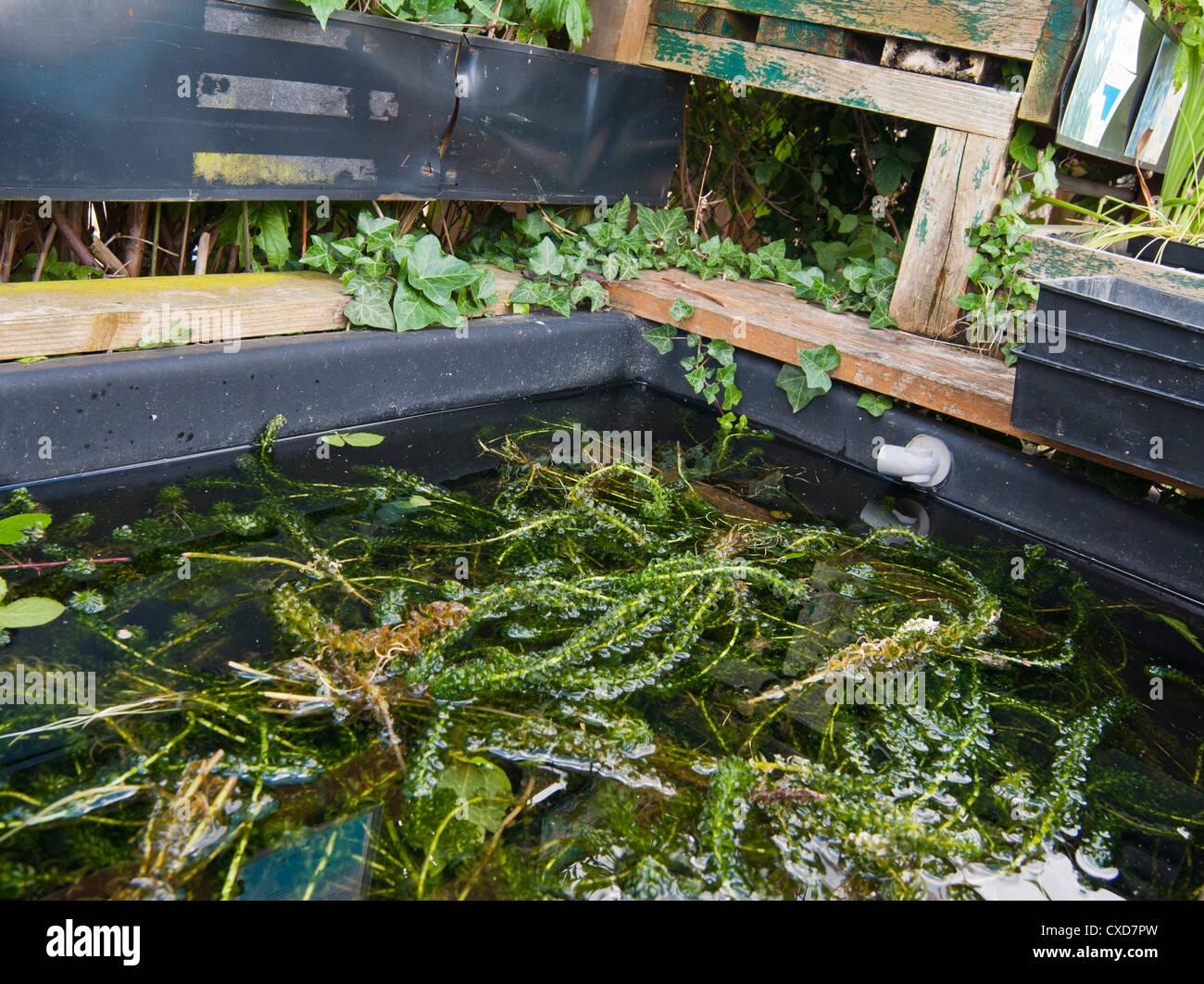 Oxygenating and floating plants elodea crispa for sale for Oxygenating pond plants for sale