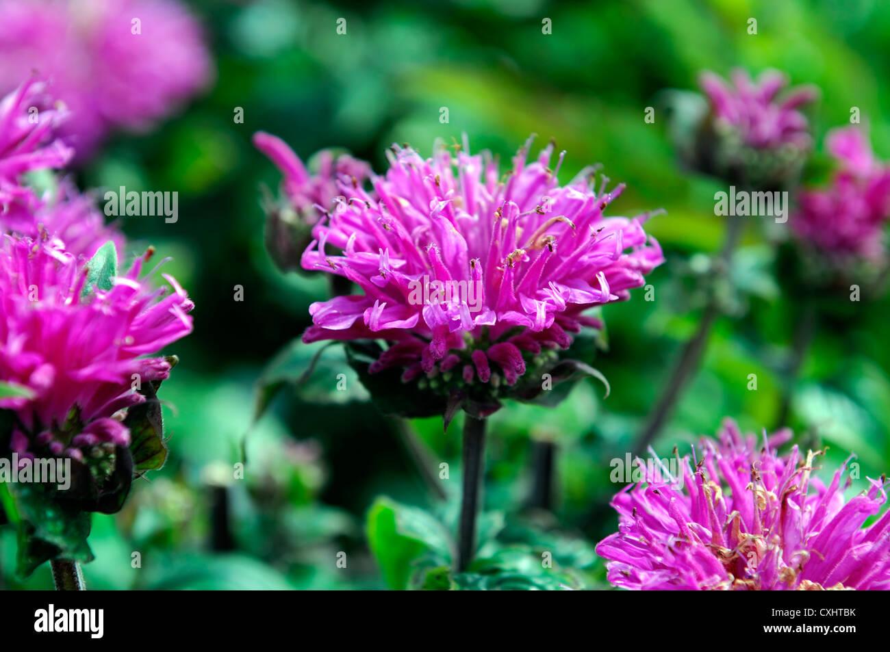 Monarda Didyma Cranberry Lace Pink