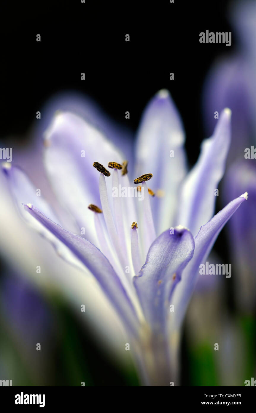 Agapanthus africanus blue lily flowers flowering blooms closeups agapanthus africanus blue lily flowers flowering blooms closeups close ups ups graphic perennials african lily backlit glow izmirmasajfo Gallery