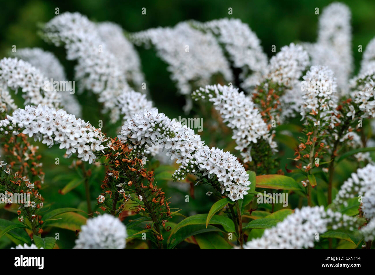 Spike flowers stock photos spike flowers stock images alamy lysimachia barystachys white spire spike flowers flowering perennials spires spikes stock image dhlflorist Image collections