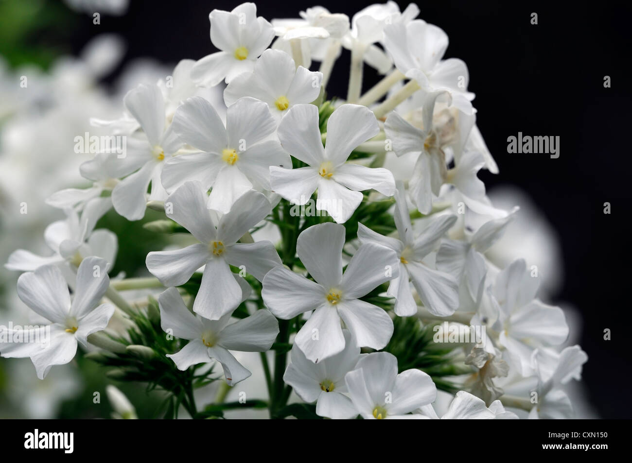 Phlox paniculata fujiyama white flowers flower spike scented stock phlox paniculata fujiyama white flowers flower spike scented herbaceous perennial plant stock photo dhlflorist Image collections