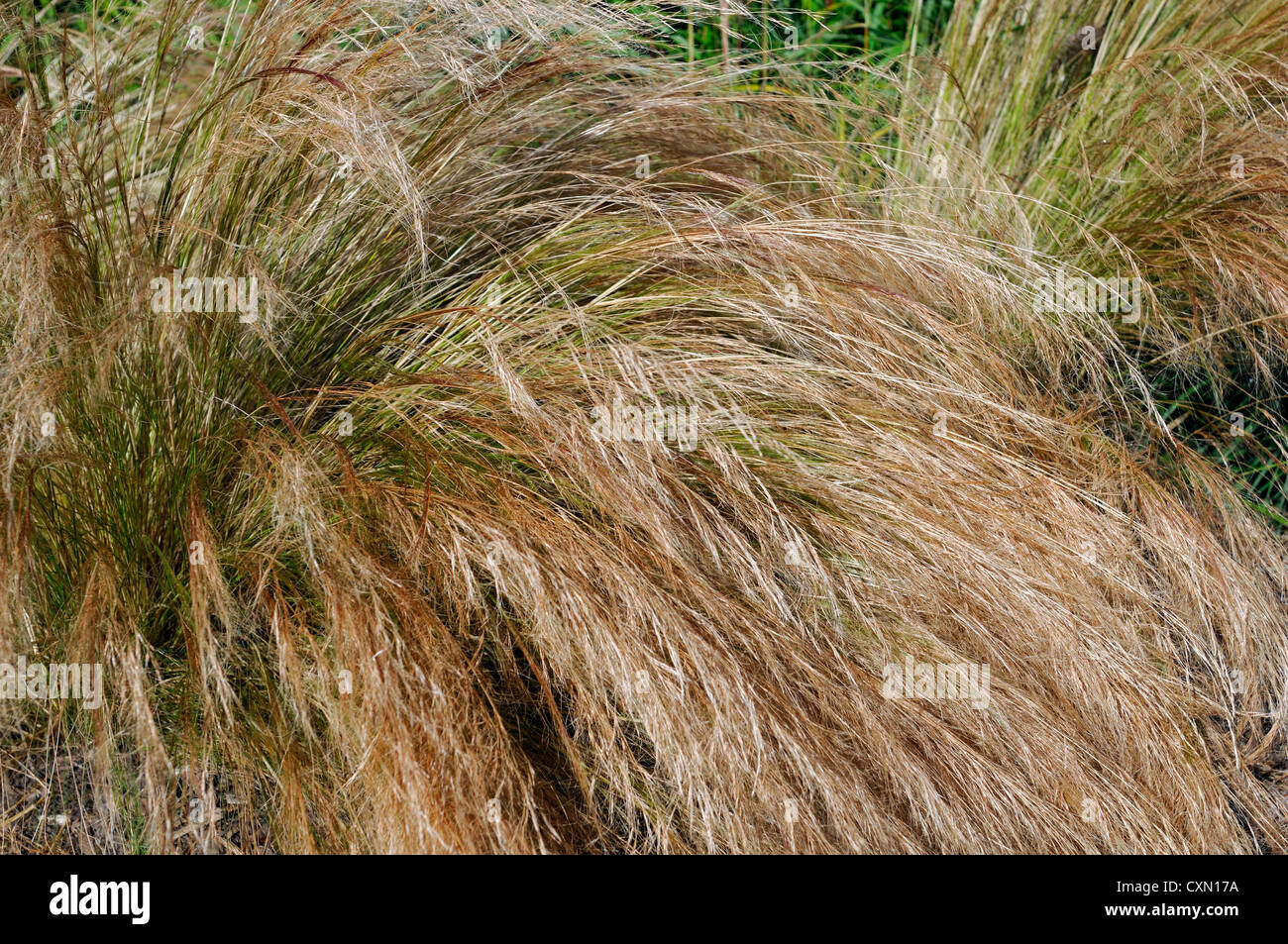 Stipa tenuissima pony tails cream brown perennials for Brown ornamental grass plants