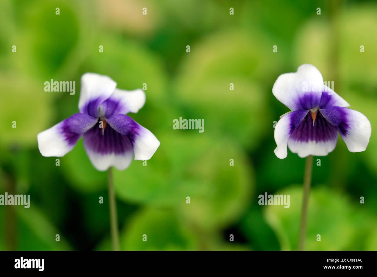 Stock Photo  Viola Hederacea White Purple Flowers Perennial Violet Viola  Dense Groundcover