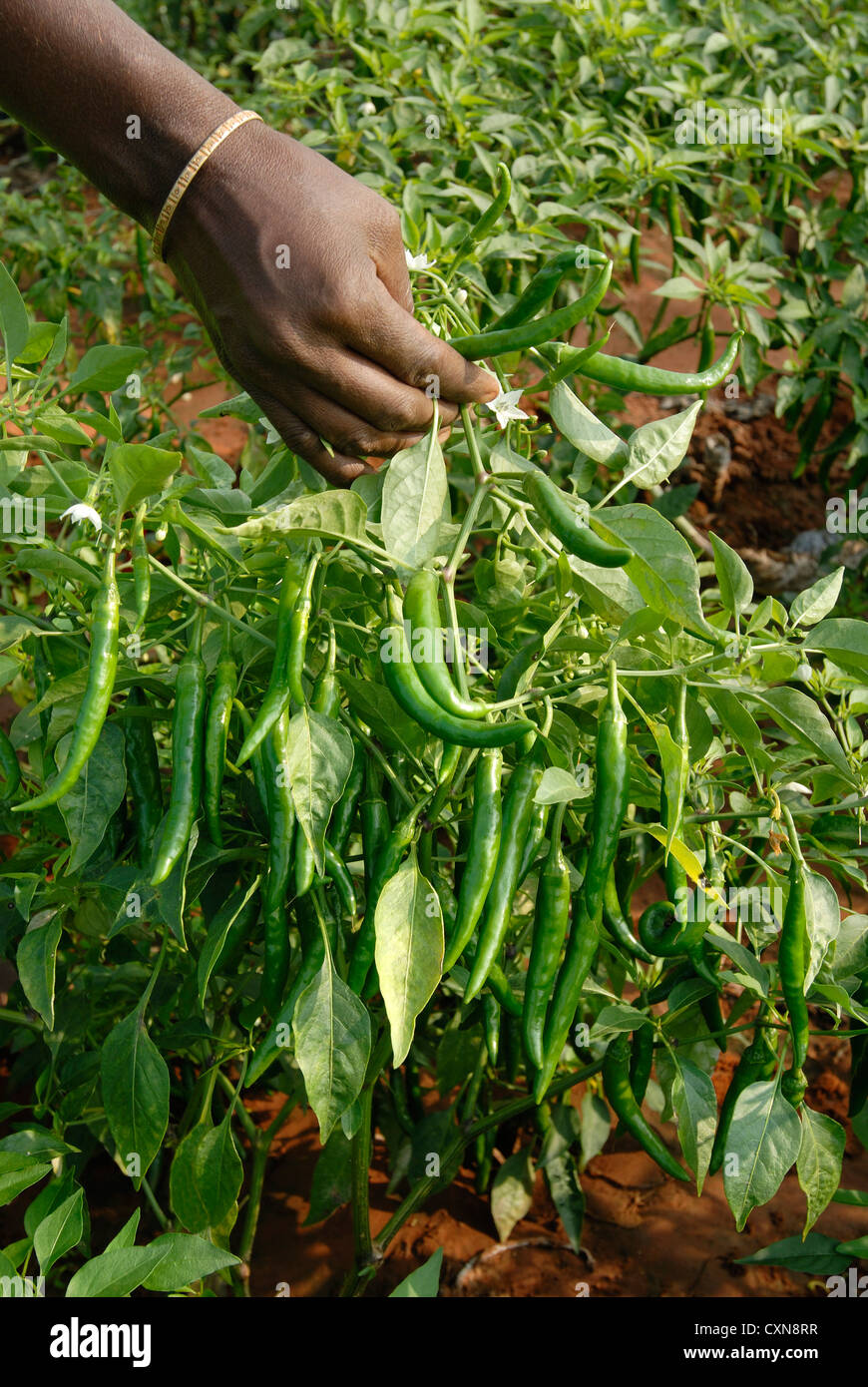 Green Chilli Pepper Crop In Oddanchatram,Tamil Nadu,India
