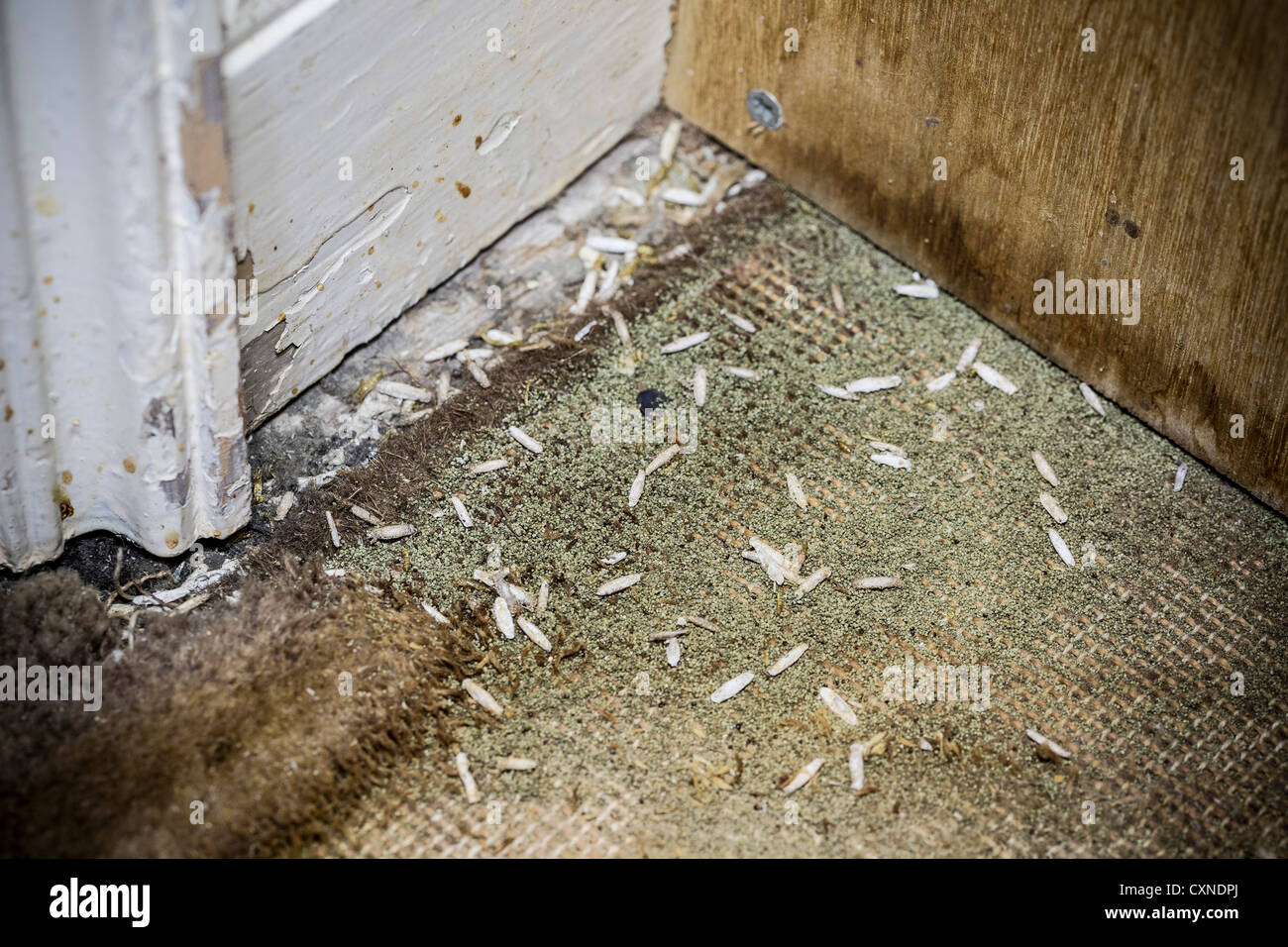 pupae of the carpet moth on a patch of moth eaten wool. Black Bedroom Furniture Sets. Home Design Ideas