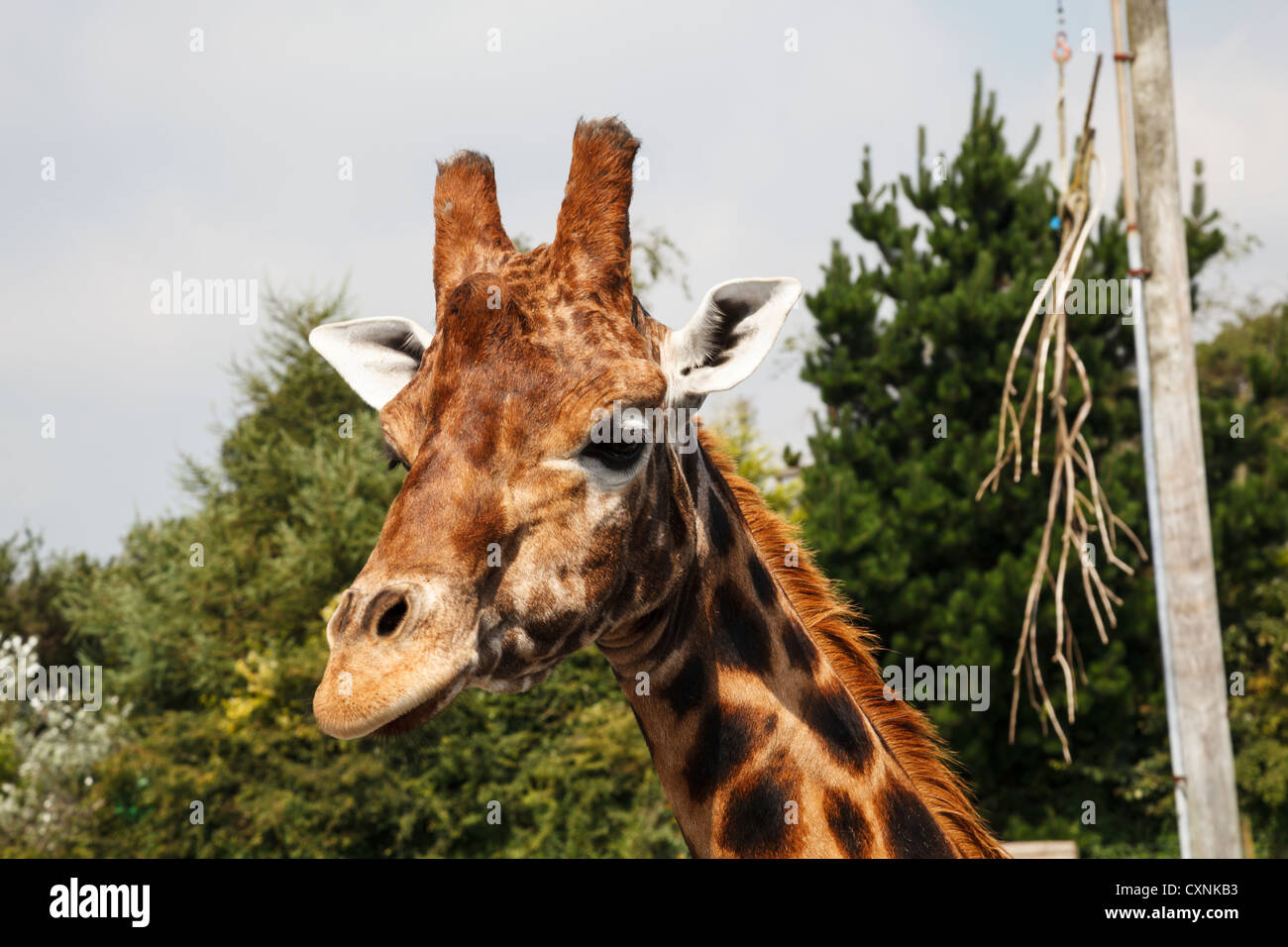 giraffe at folly farm zoo stock photo royalty free image