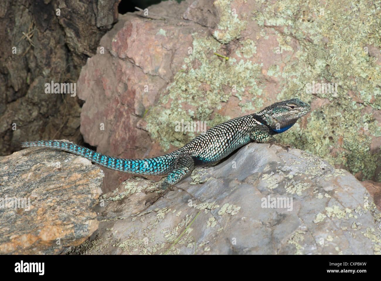 Arizona cochise county cochise -  Mountain Spiny Lizard Sceloporus Jarrovii Huachuca Mountains Cochise County Arizona United States 9
