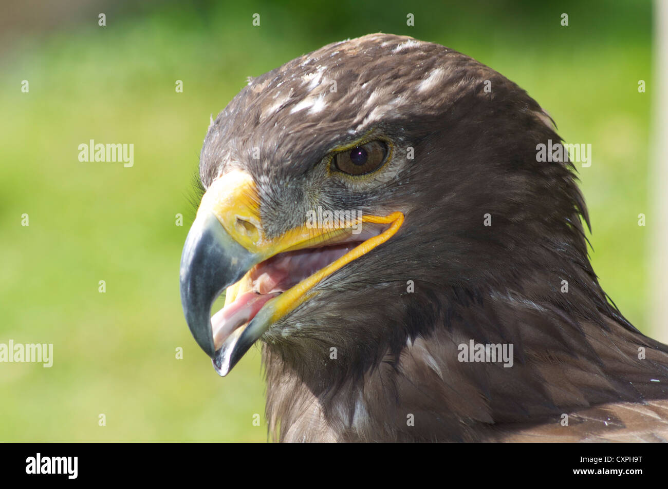 golden eagle with tongue showing at the english of falconry
