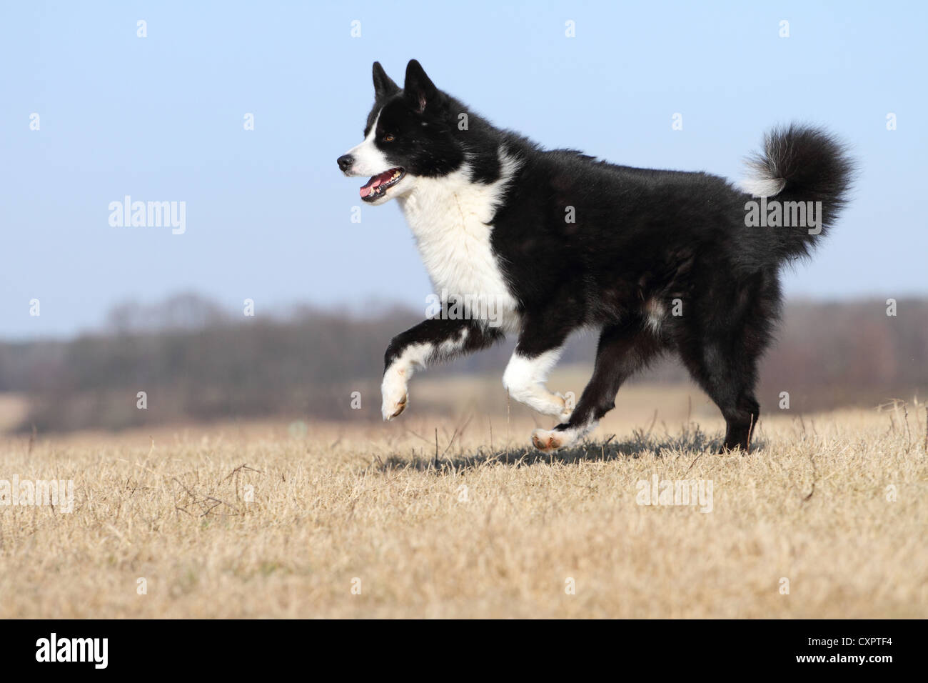 running karelian bear dog stock image kbd