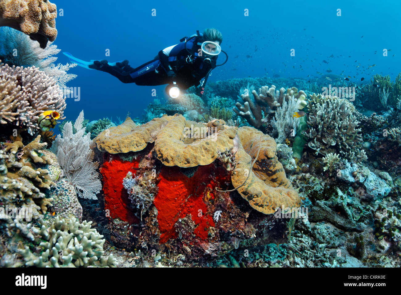 female diver looking at a giant clam tridacna gigas on