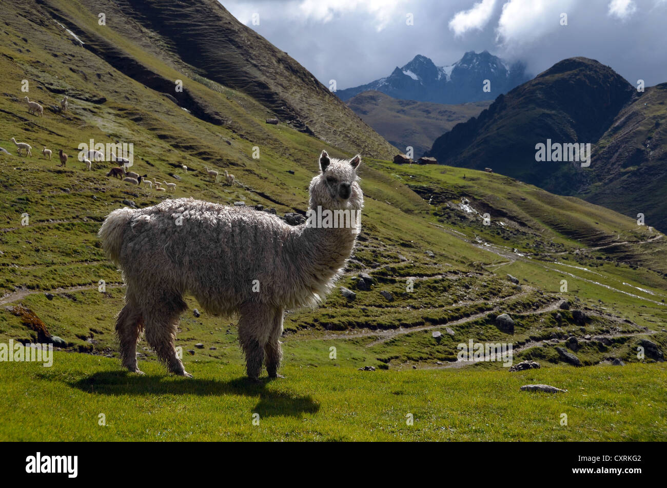 Mountain living near cusco peru royalty free stock photo -  Mountain Near Cusco Peru Llama Llama Glama In Front Of Mountain Scenery In The High Andes Mountains