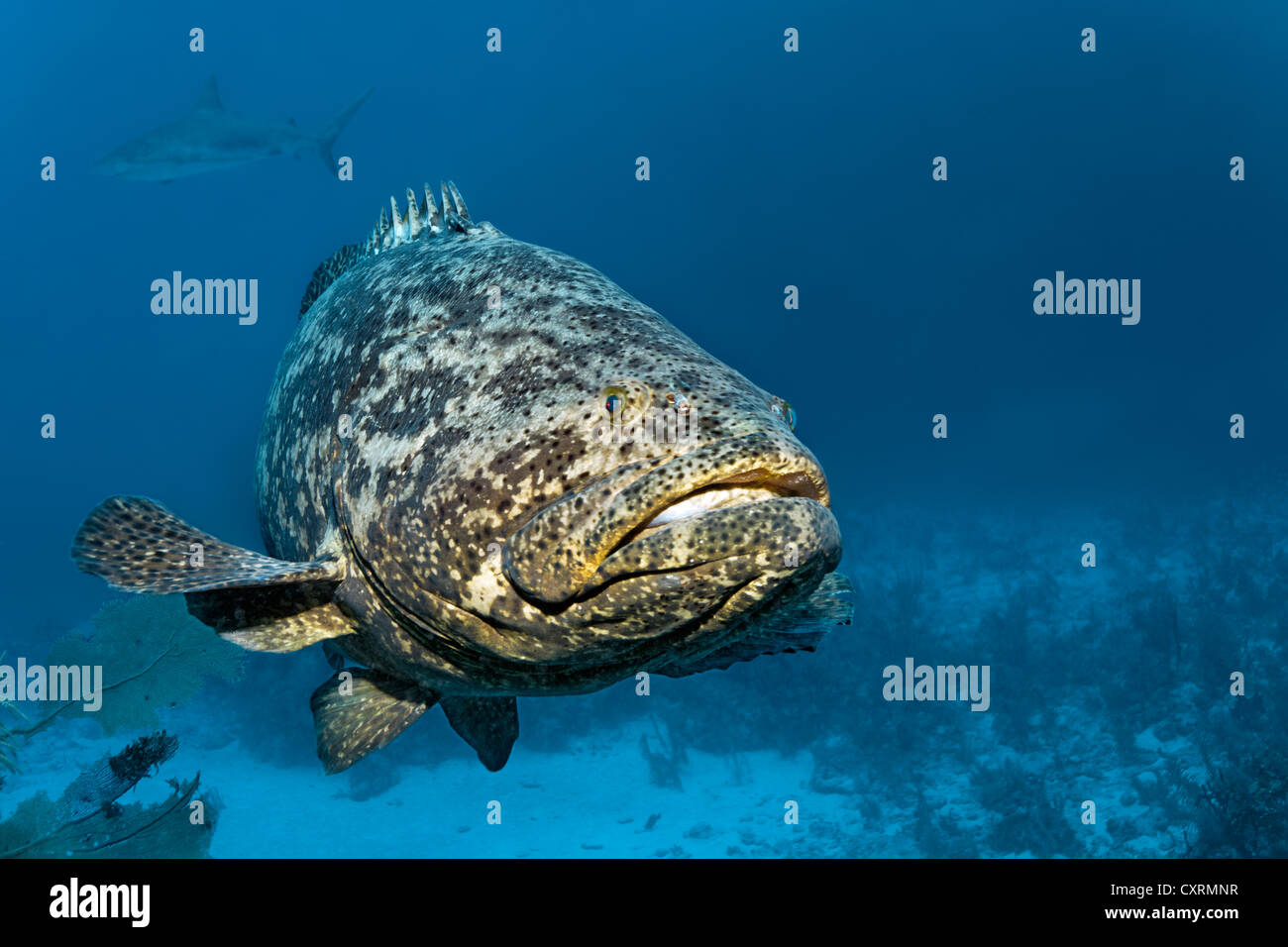 Jewfish bing images for Goliath grouper fish