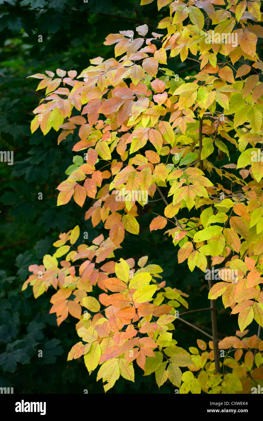Yellow_leaves_of_an_Ash_tree_against_dar