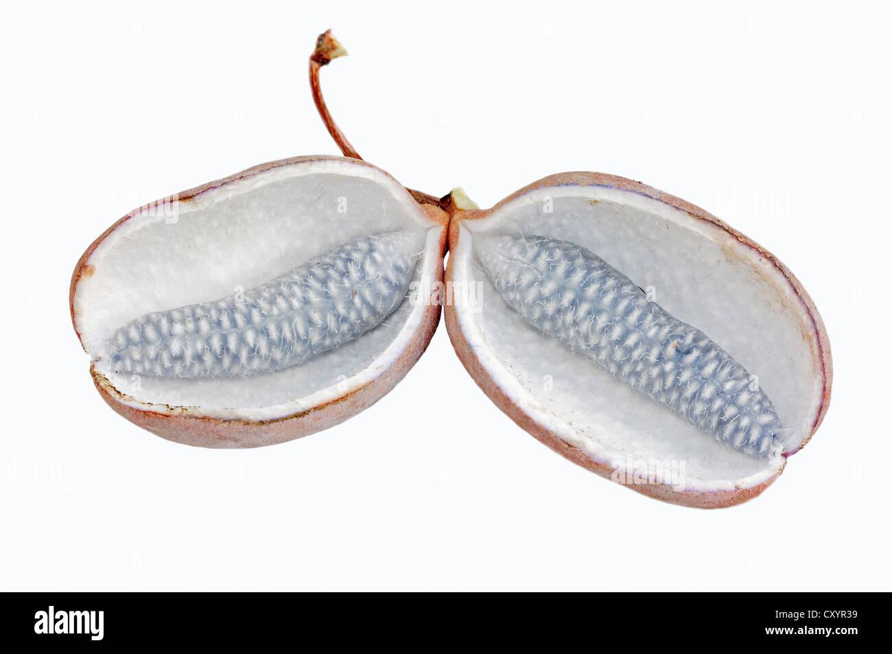 Chocolate vine, five-leaf akebia (Akebia quinata), fruits, found ...