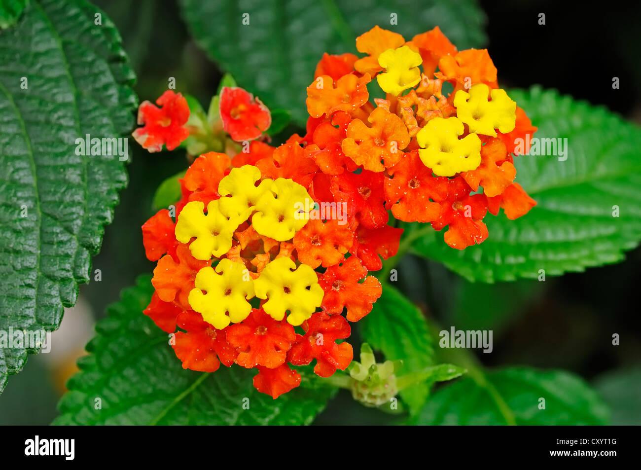 Spanish Flag or West Indian Lantana Lantana camara flowers Stock Ro