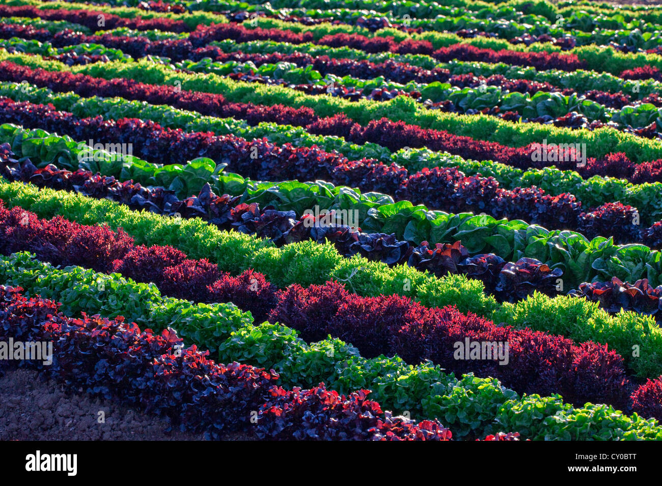 winter lettuce crops imperial valley california stock photo