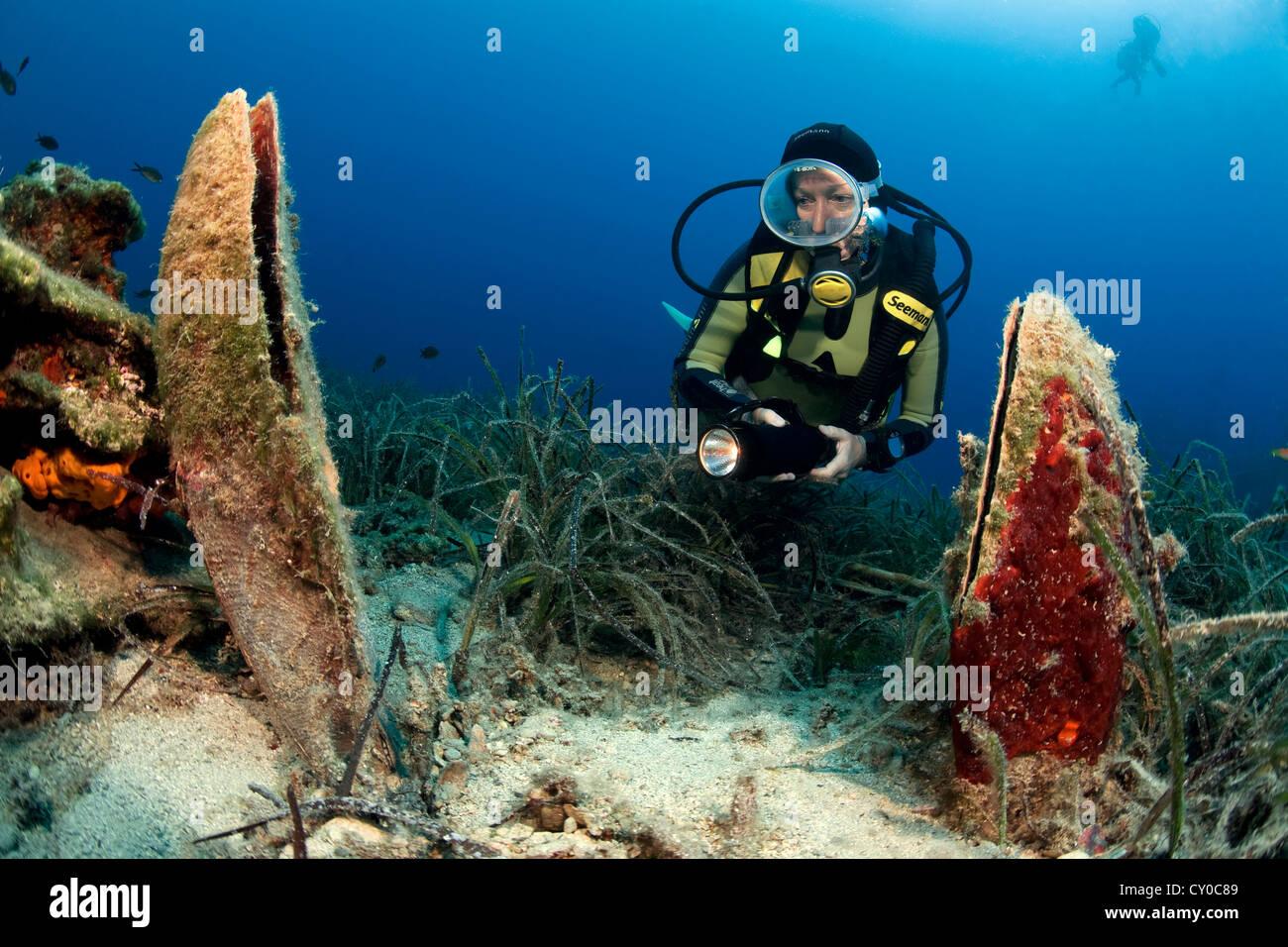 Scuba diver and noble pen shells (Pinna nobilis ...