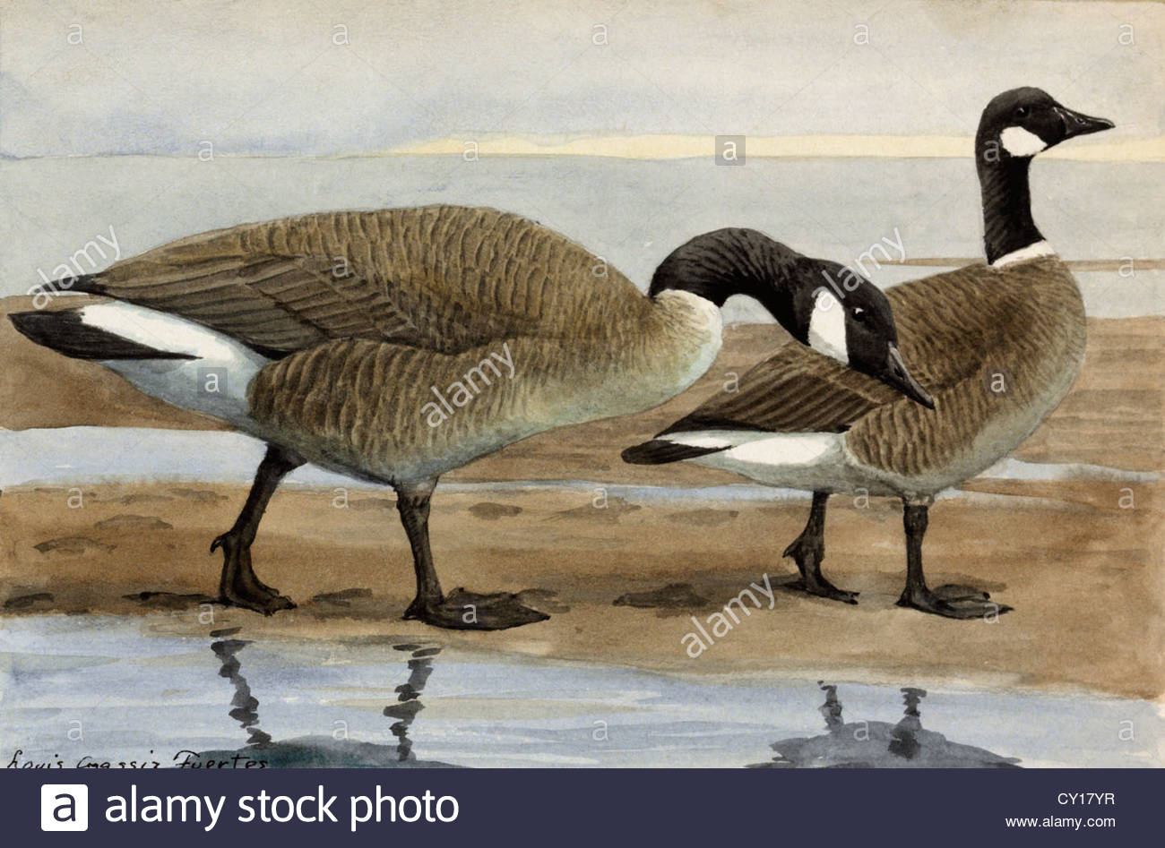 A painting of a canada goose and a cackling goose stock photo a painting of a canada goose and a cackling goose biocorpaavc