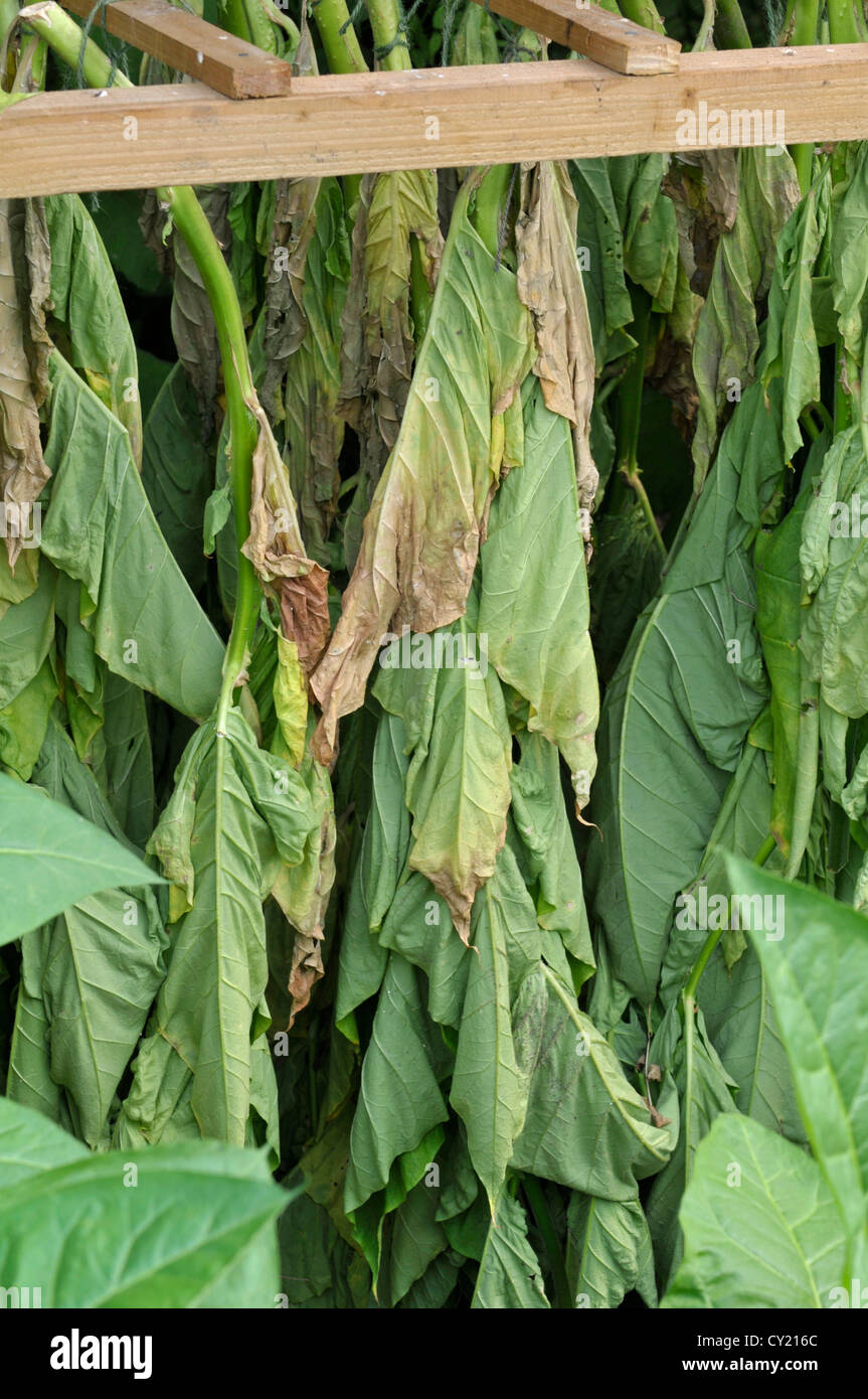 Nicotiana Tabacum Images: Tobacco: Nicotiana Tabacum. Leaves Drying. Botanic Garden