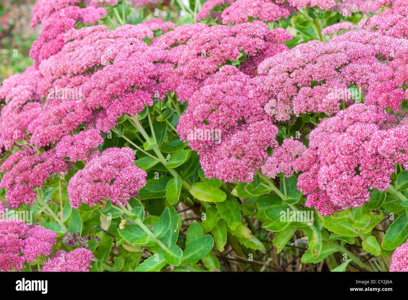 sedum spectabile 39 herbstfreude 39 stock photo 51074642 alamy. Black Bedroom Furniture Sets. Home Design Ideas