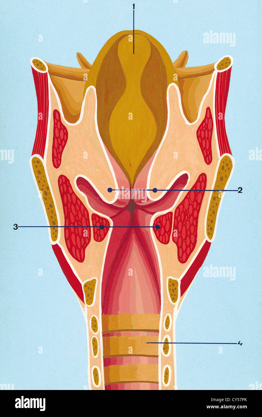 Drawingcolor Respiratory System Schematic Drawing Of The Front Section Of The